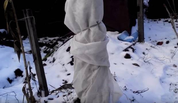 Как укрывать черешню на зиму