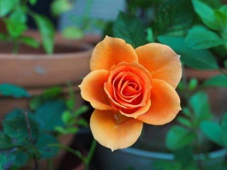 Цветы маленькие розы