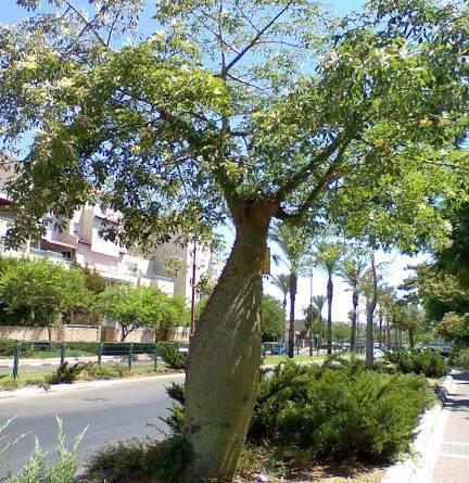 Сиреневое дерево фото