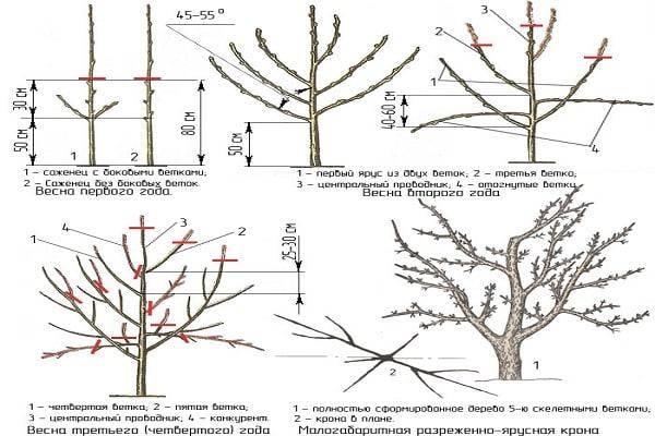 Низкорослые сорта яблонь для средней полосы