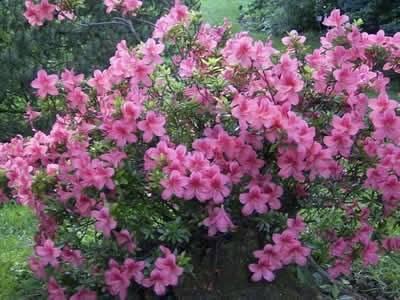 Рододендрон листопадный сорта