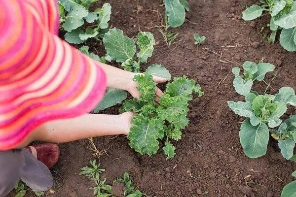 Капуста кале семена