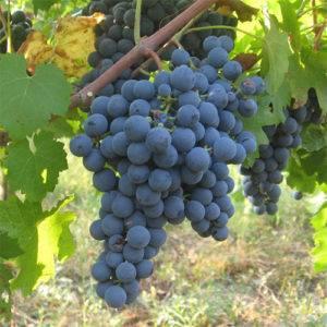 Какие сорта винограда подходят для вина