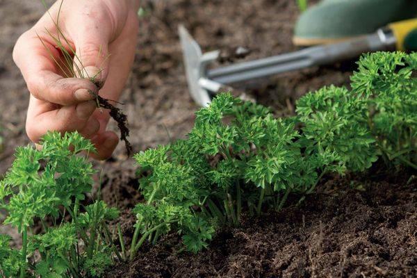 Как правильно выращивать морковь