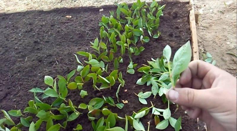 Как выращивать голубику садовую