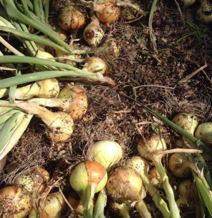 Природное земледелие опыт огородников