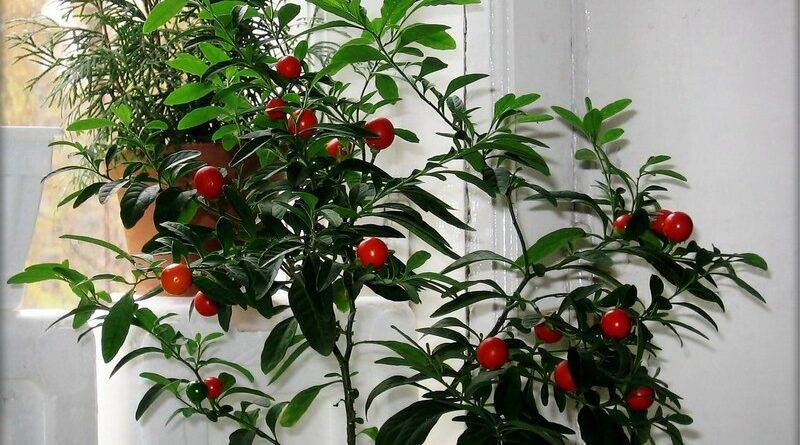 Цветок похожий на помидор