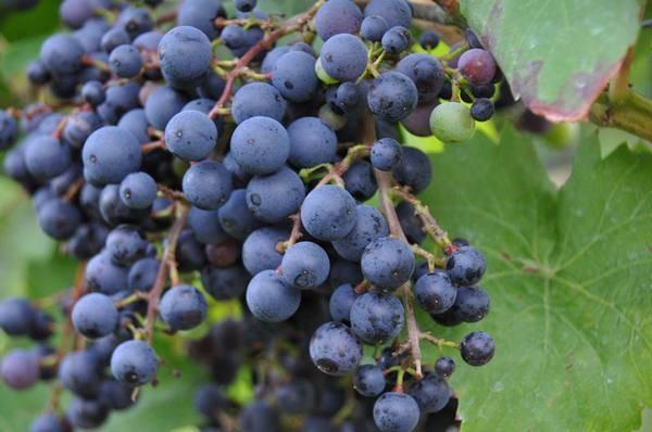 Винные сорта винограда для черноземья