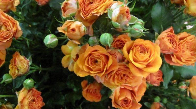 Сорта чайных роз с фото и названиями