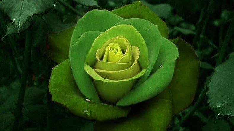 Роза эксплорер фото и описание