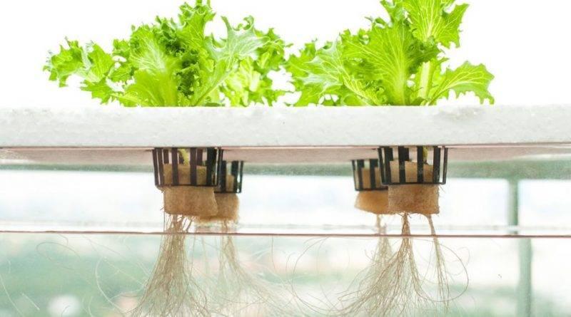 Как выращивают гидропонику