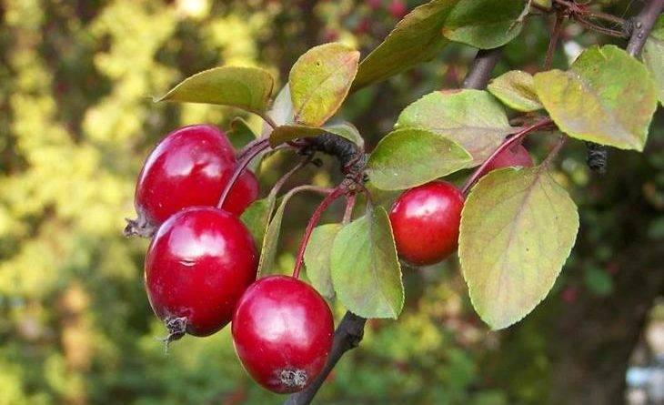 Райские яблочки дерево фото