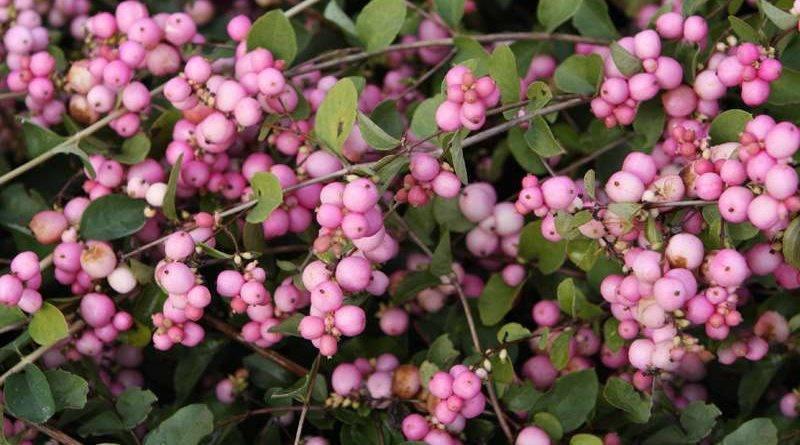Растение с белыми ягодами