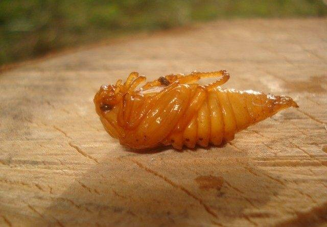 Белый клевер против майского жука
