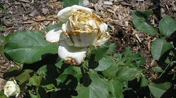Вредители роз и борьба с ними фото