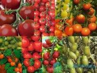 Кистевые томаты для теплиц фото