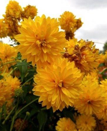 Цветы в виде шара название