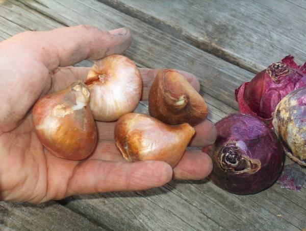 Как подготовить тюльпаны к посадке осенью
