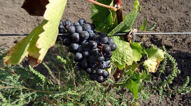 Сорт винограда достойный