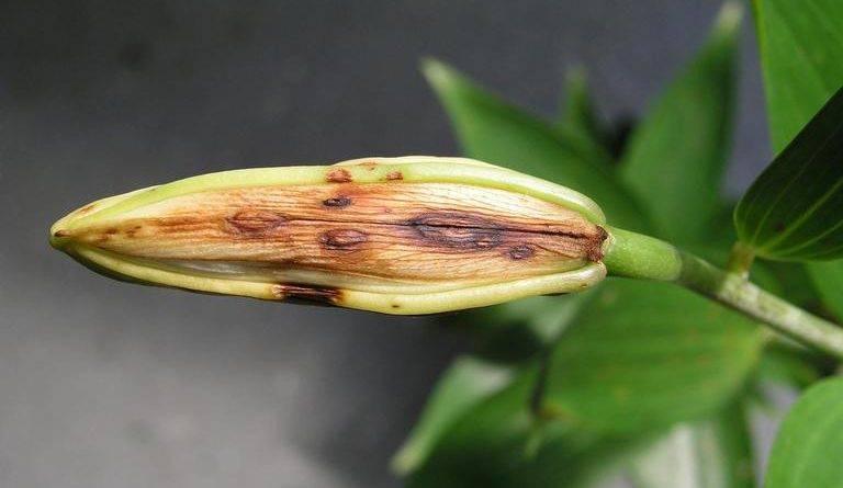 Лилия элоди азиатская махровая