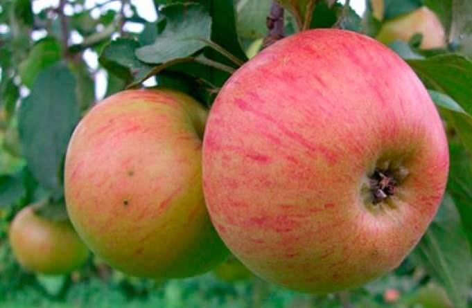Кисло сладкие яблоки