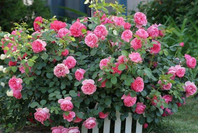 Роза ремонтантная