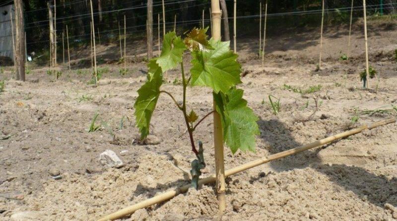 Посадка винограда осенью черенками видео