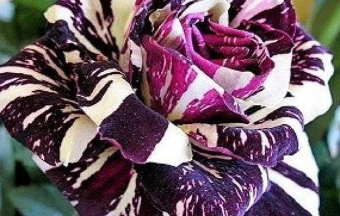Розы необычных цветов
