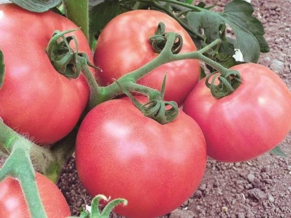 Розовые помидоры сорта низкорослые