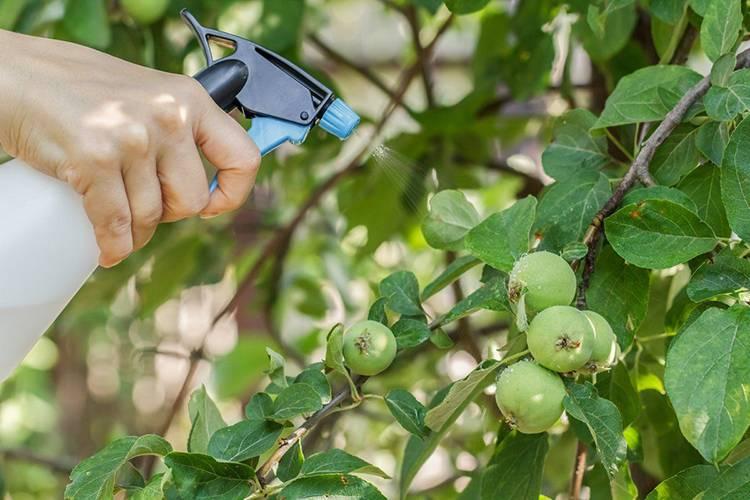 Как избавиться от плодожорки на яблоне