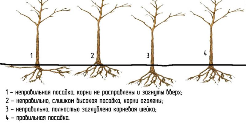 Посадка яблони осенью на украине