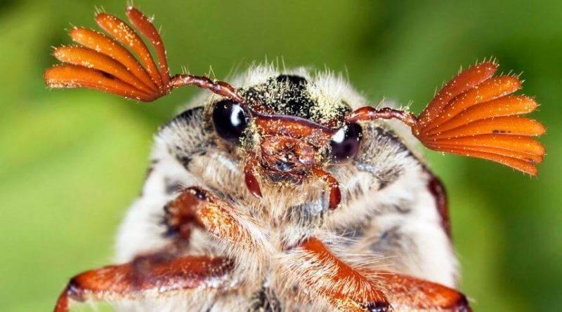 Где обитает личинка майского жука