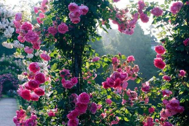 Сорта плетистых роз цветущих весь сезон