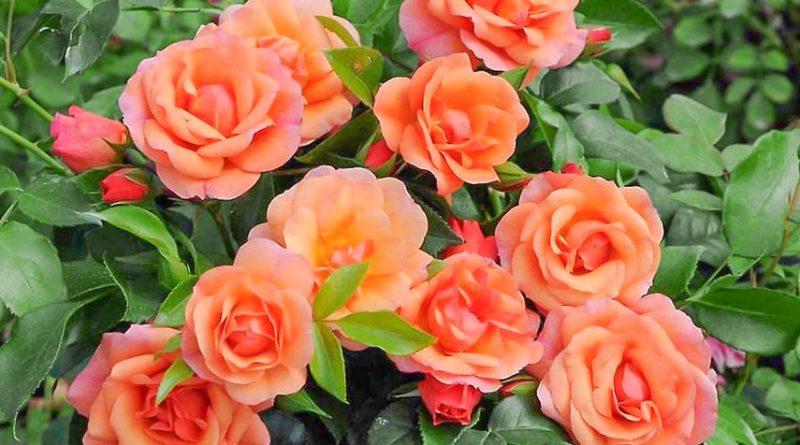 Розы с большими бутонами