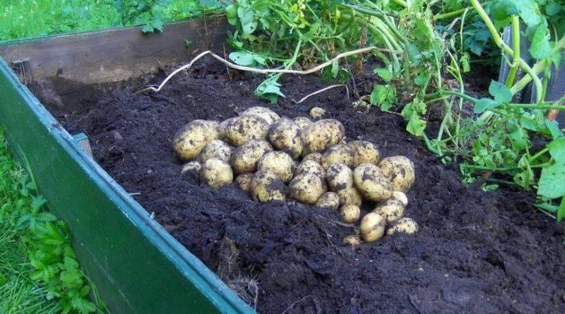 Ультраранние сорта картофеля в украине