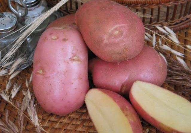 Как выбрать картошку на зиму