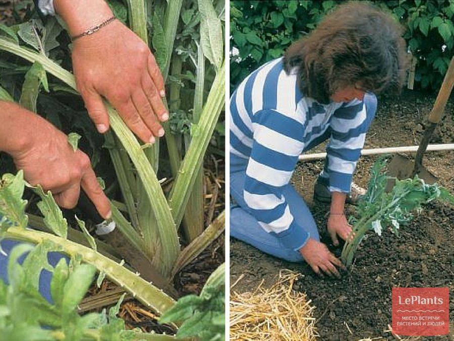 Выращивание артишоков в средней полосе