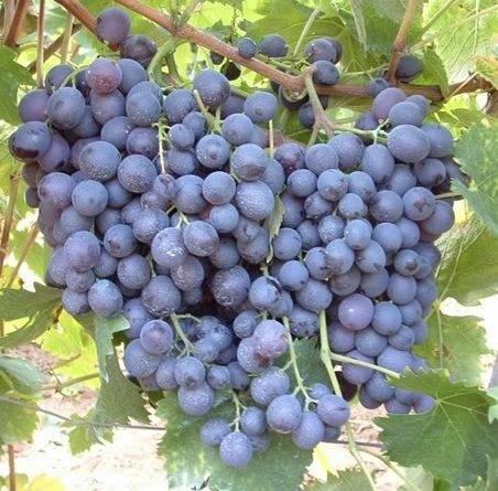 Лучшие винные сорта винограда для средней полосы