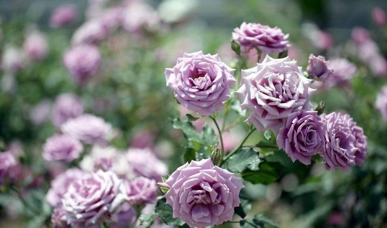 Чем подкармливать розы чтобы куст был хорошим