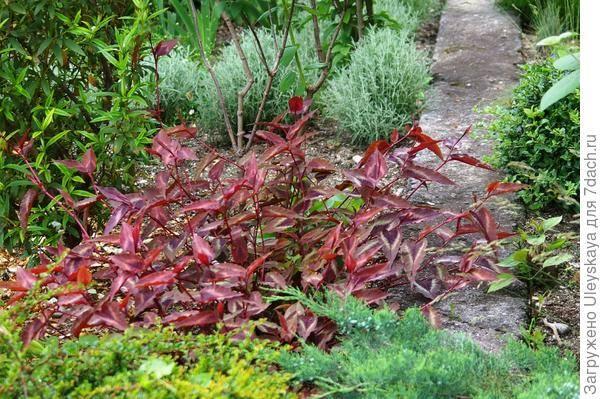 Цветок который цветет красными листьями