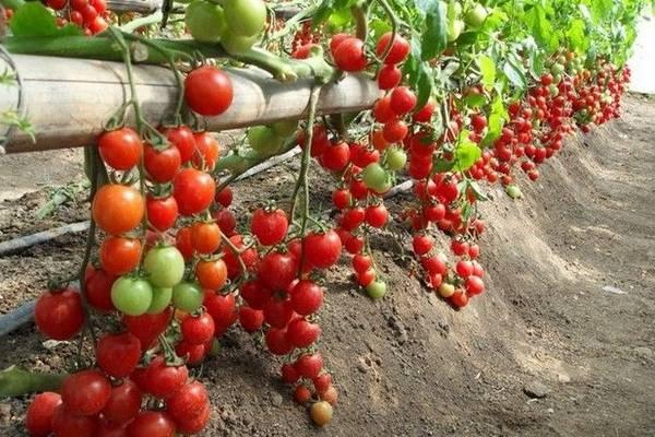 К какому семейству относится томат