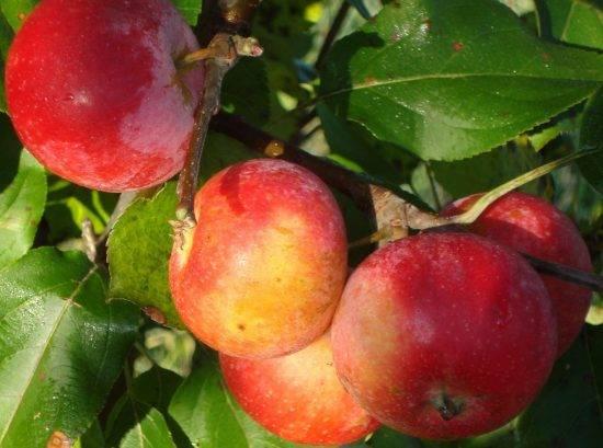 Зимние сорта яблонь для ленинградской области