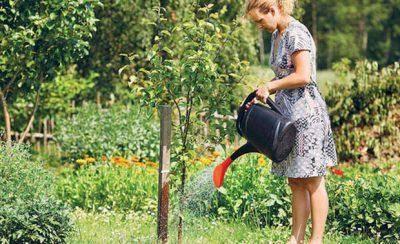 Как правильно посадить сливу весной