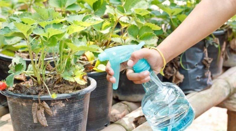 Выращивание клубники зимой в теплице