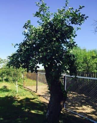 Формирование яблонь от высадки до плодоношения
