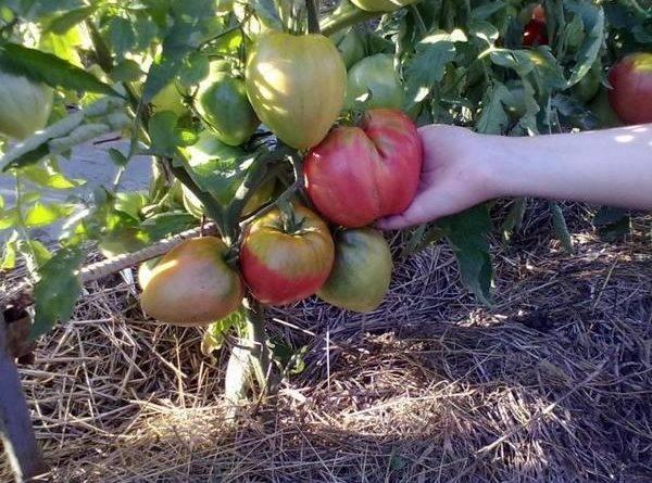 Лучшие сорта томатов для сибири в теплице