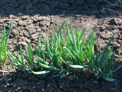 Лук шалот деликатес выращивание из семян