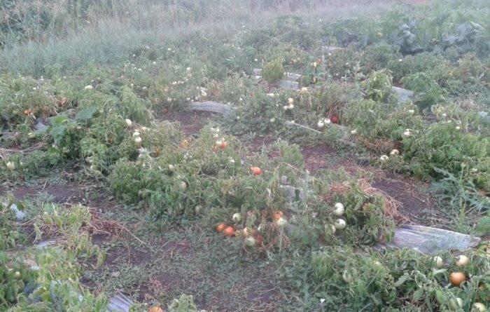 Как формировать помидоры