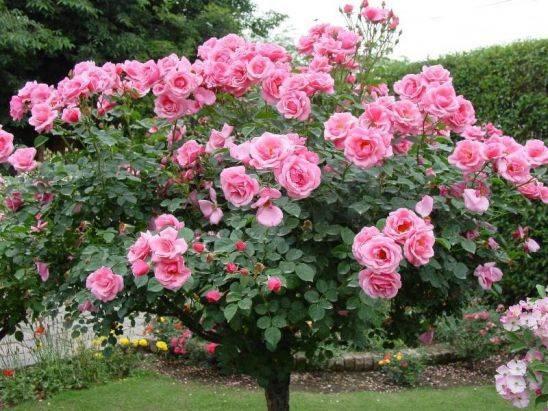 Обрезка роз осенью для начинающих фото