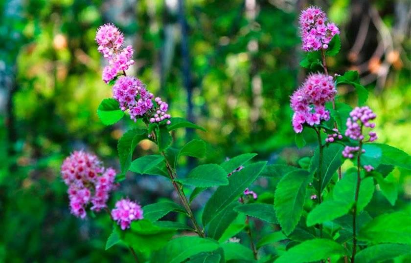 Спирея японская розовая
